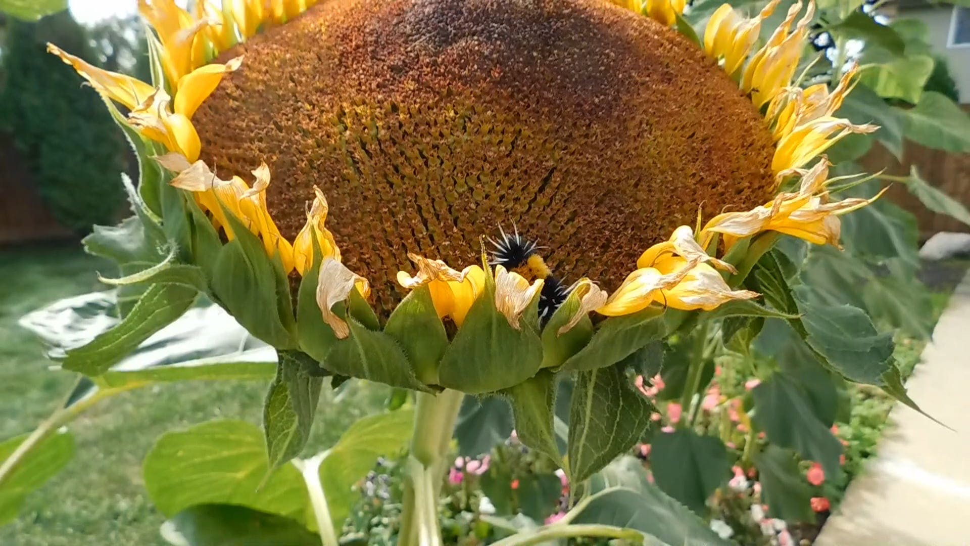 Tussock Moth Caterpillar In a Sunflower