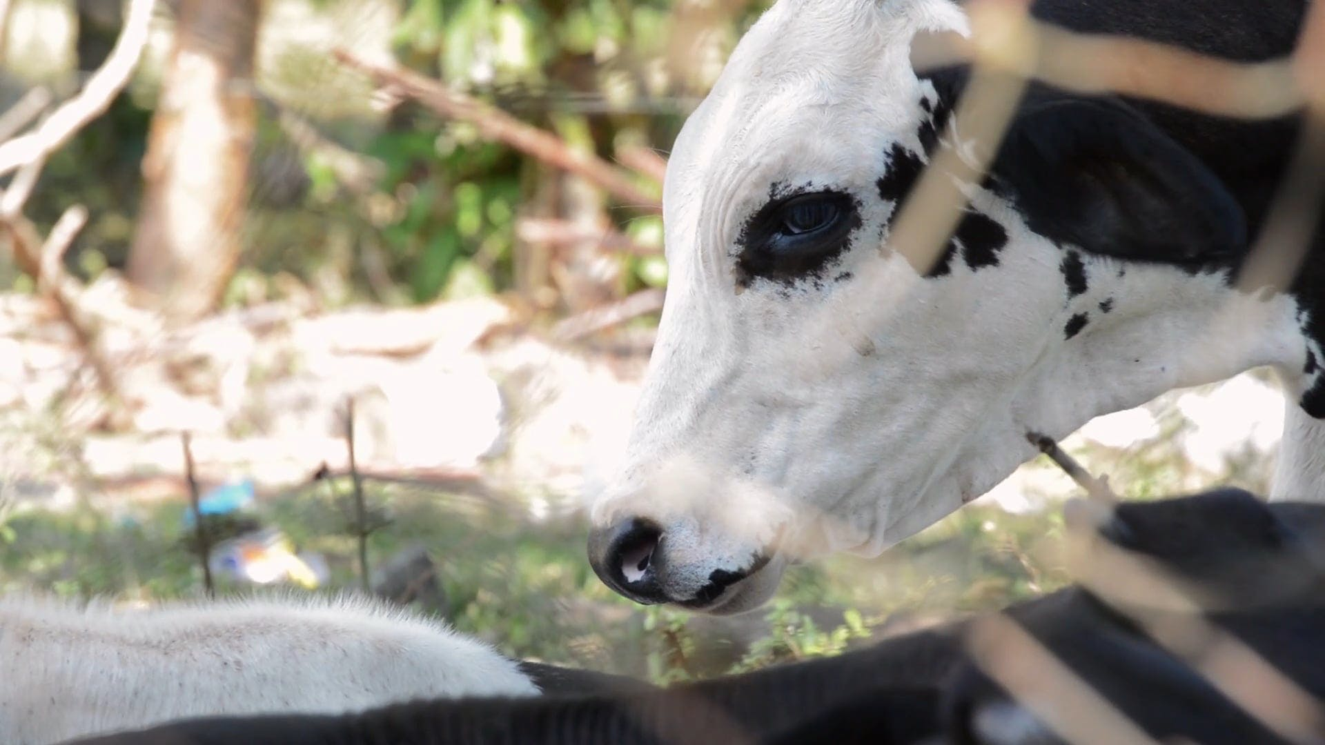 Video Of Cow