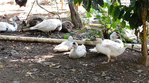 Ducks Resting Under A Tree