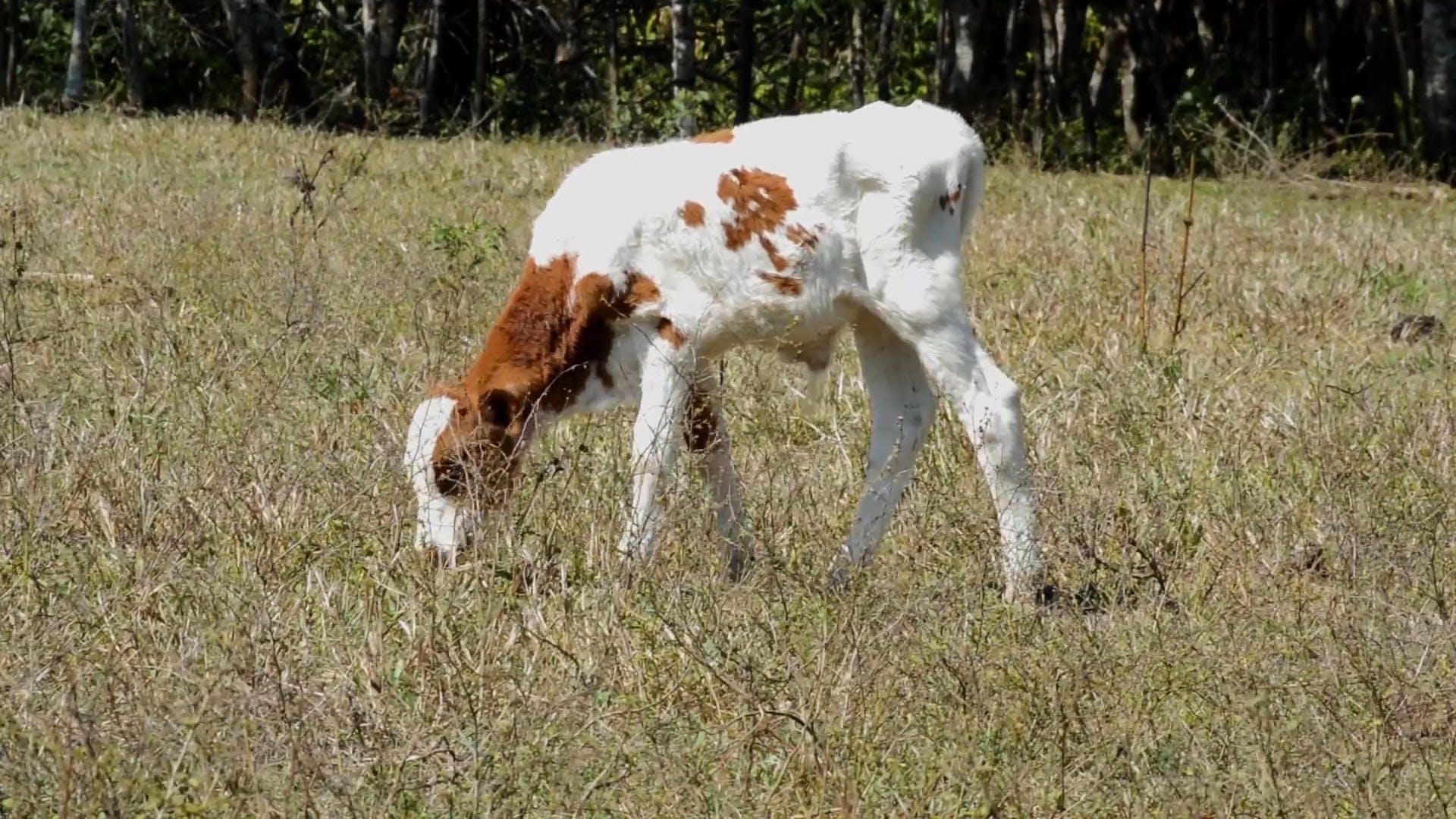 A Calf Feeding On Grass