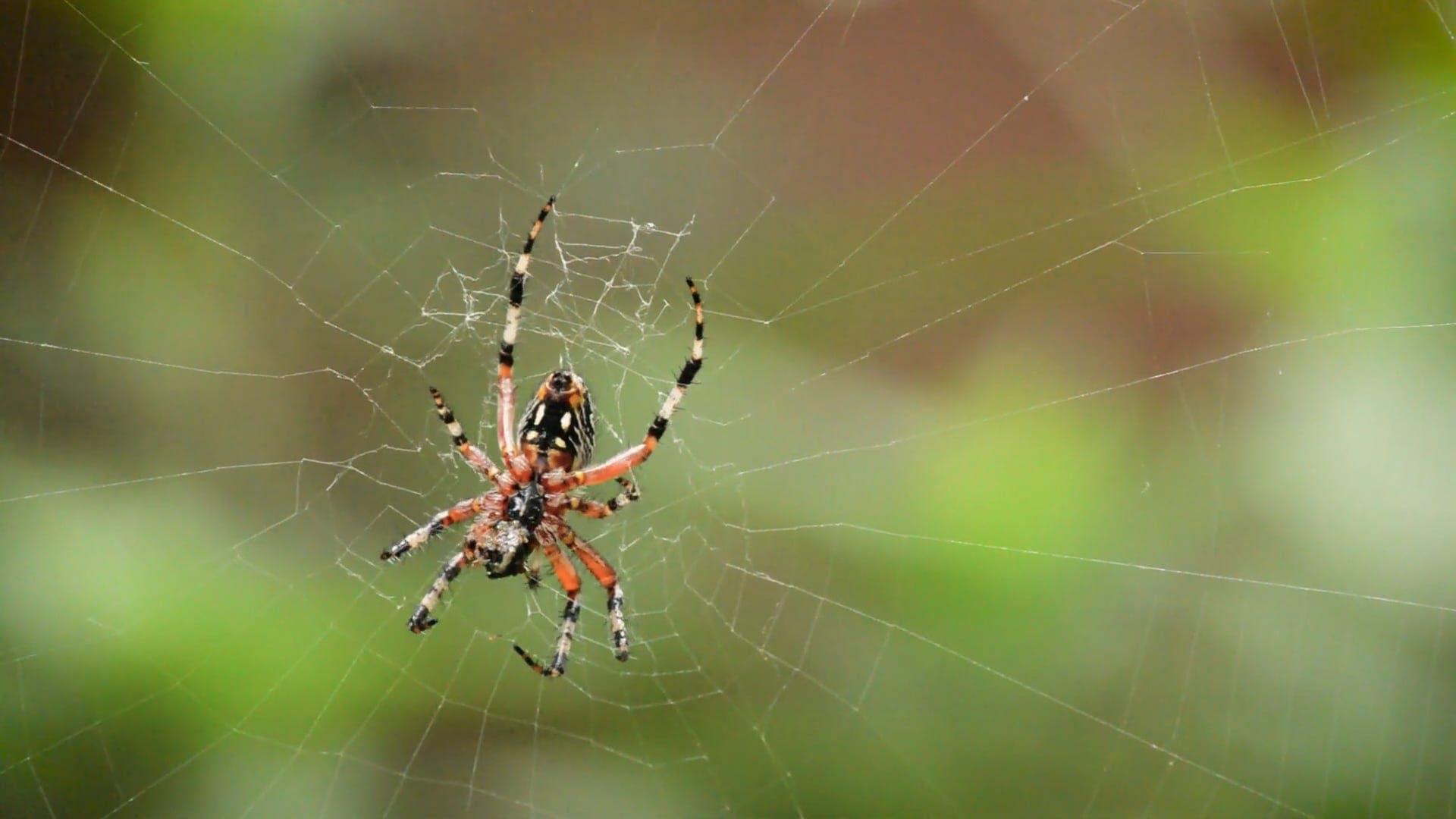 Spider Making A Trap