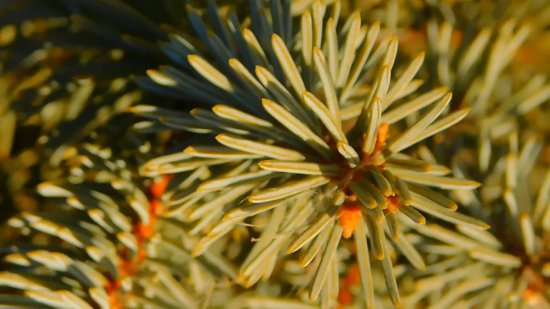 Close-Up View Of Spruce Leaves
