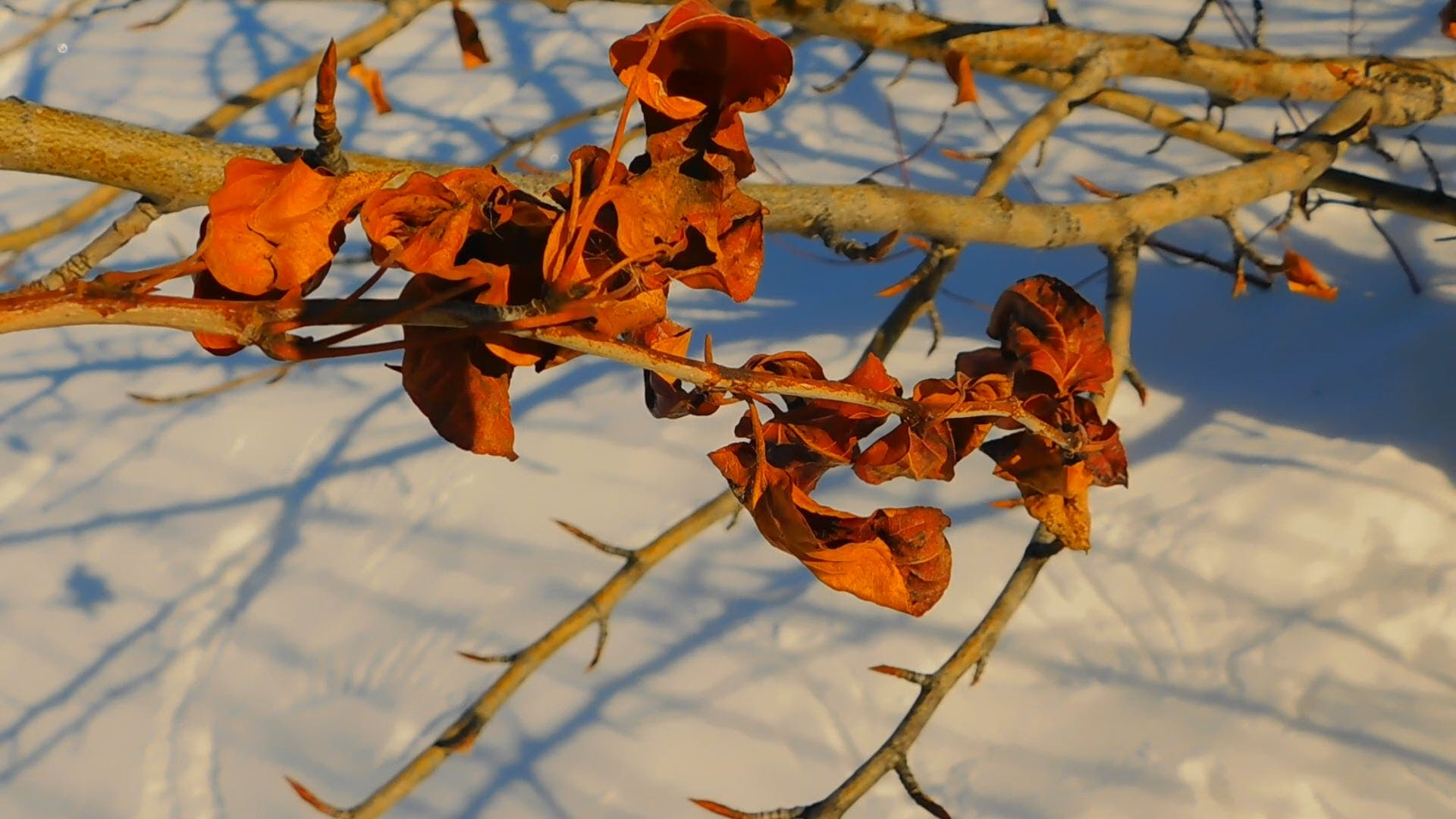 Fascination- Red Leaves