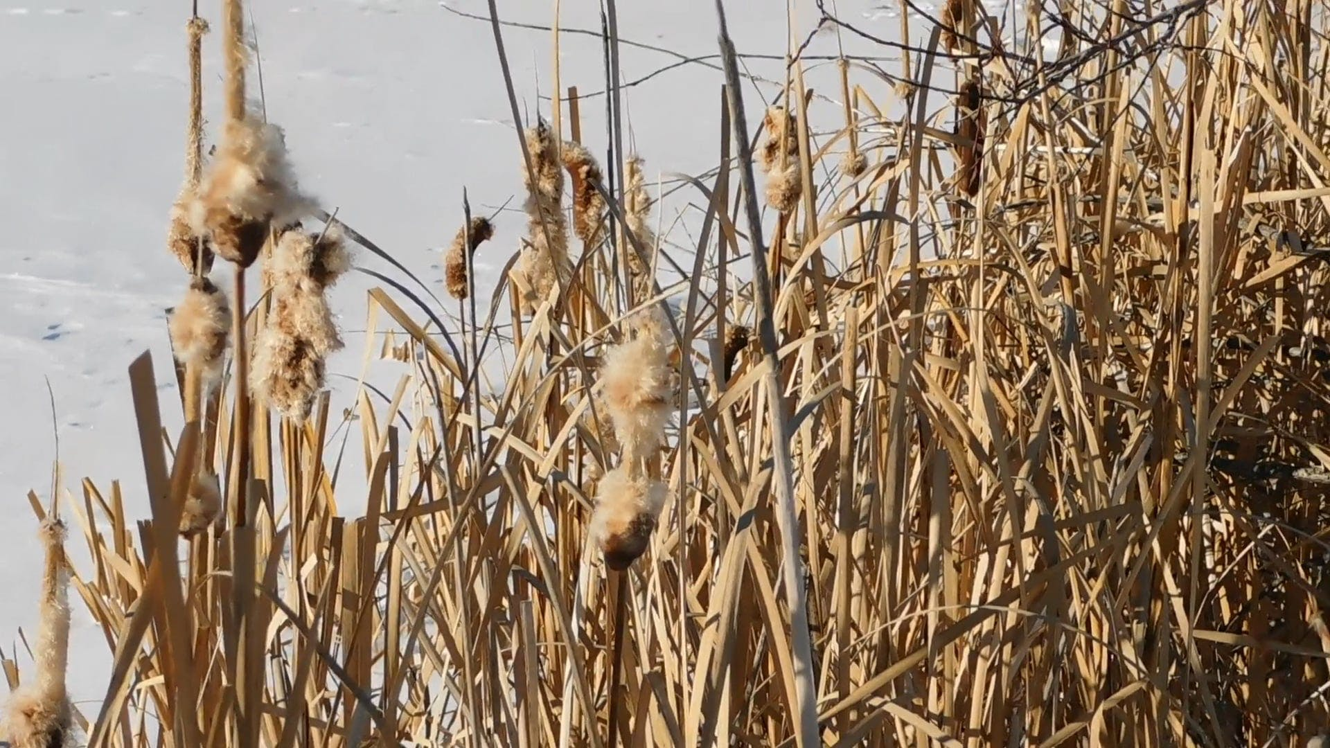 Dried Weeds Near A Frozen Lake