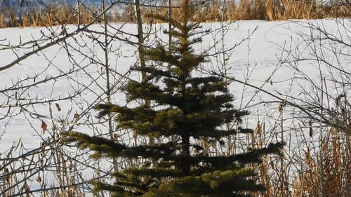 A Single Spruce At The Frozen Lake