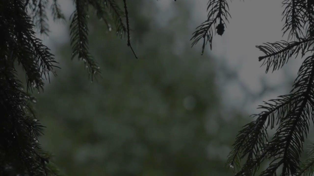 Close-up Shot Of Pine Tree Branch