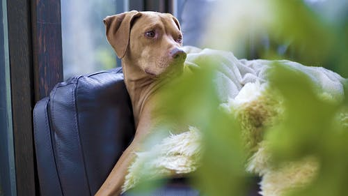 Brown Dog Relaxing On A Sofa