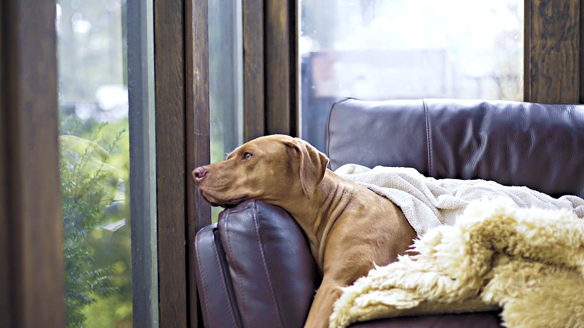 A Large Breed Dog On A Sofa