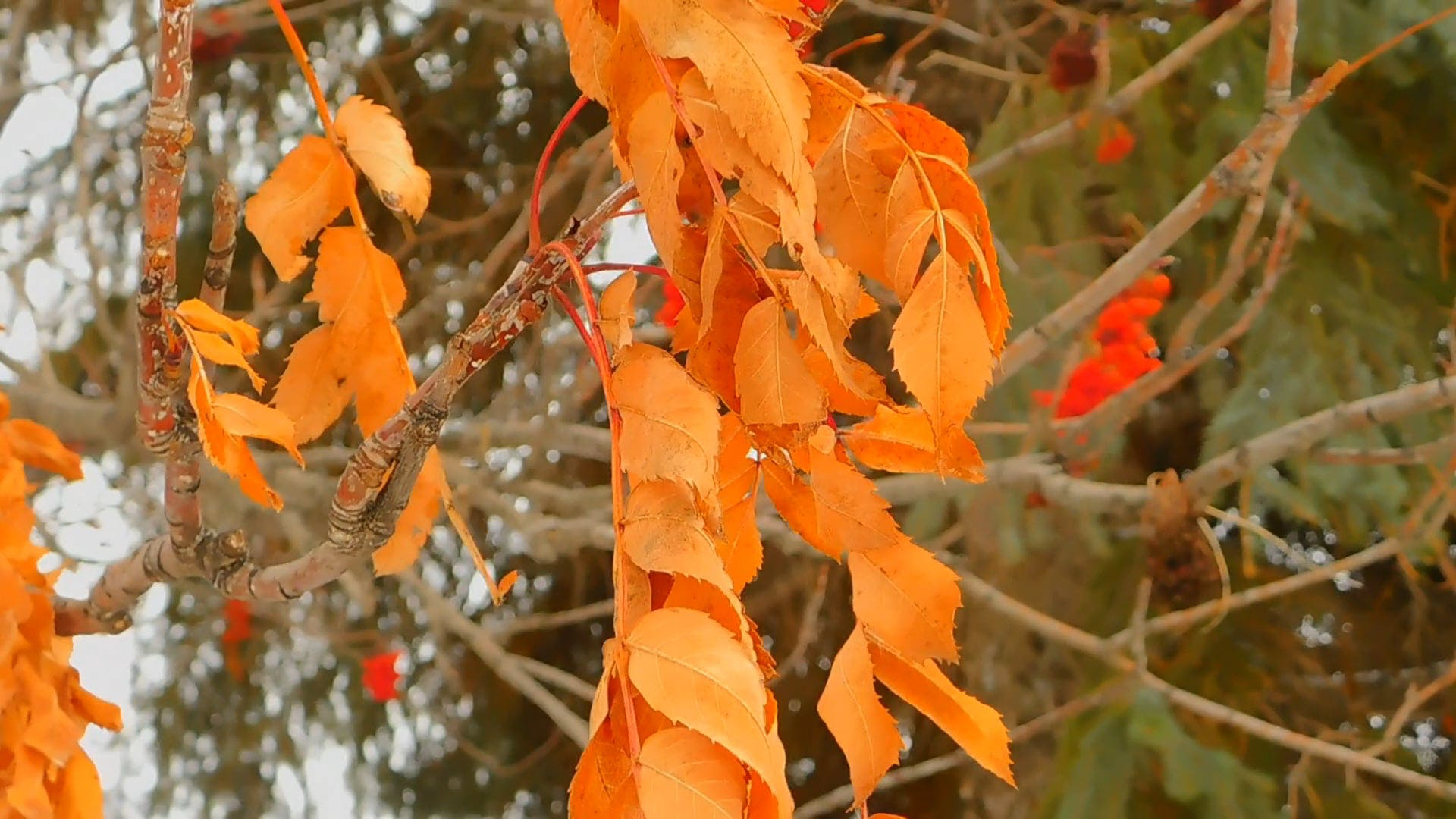 Orange Leaves In Autumn