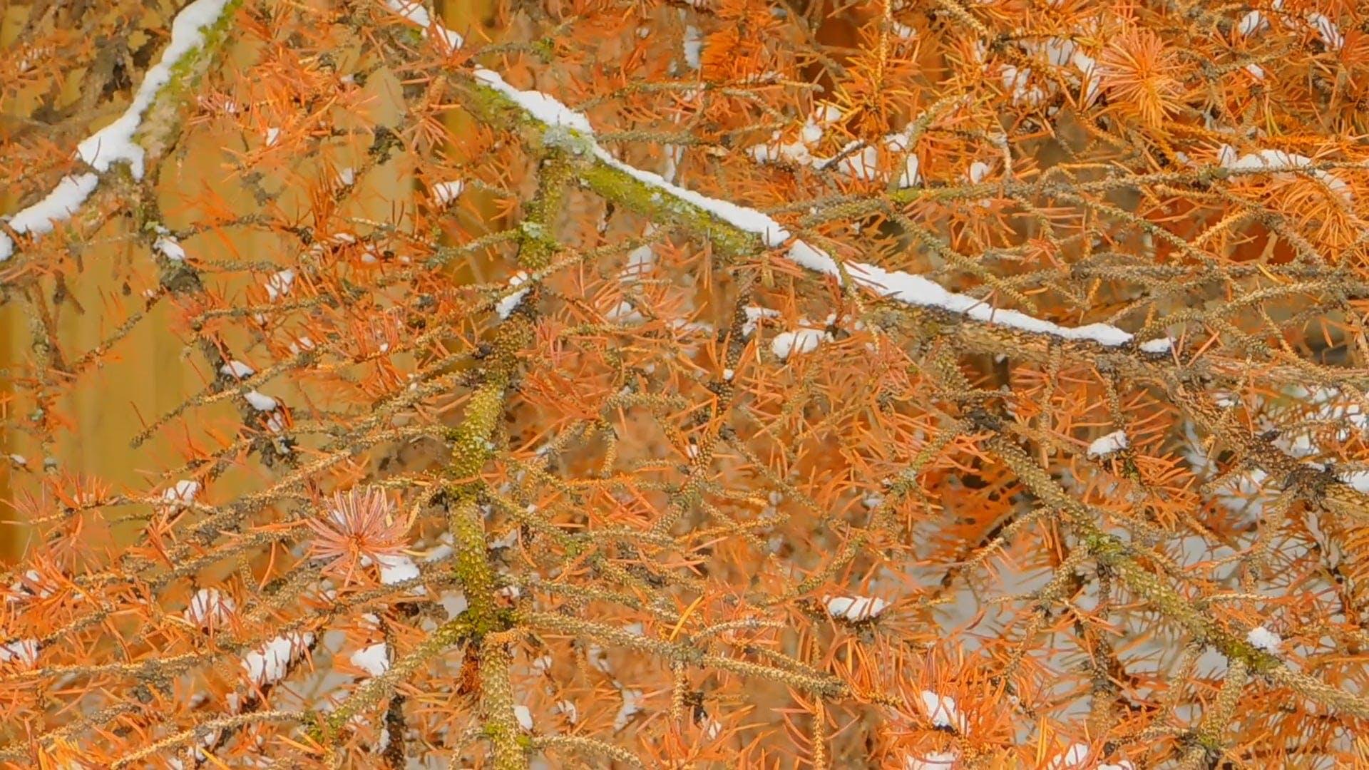 A Huge Dead Spruce Tree