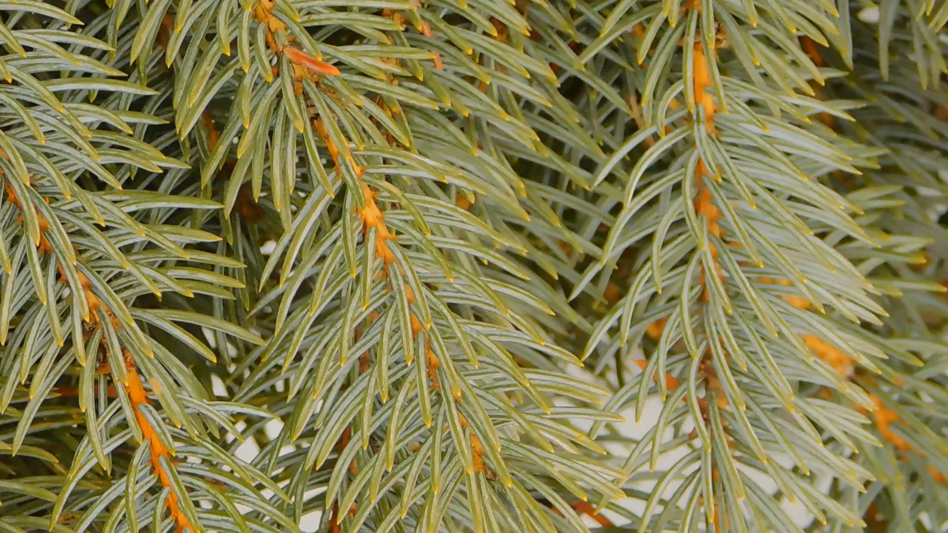 Close-Up  View Of Spruce Branches