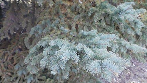 A Coniferous Tree