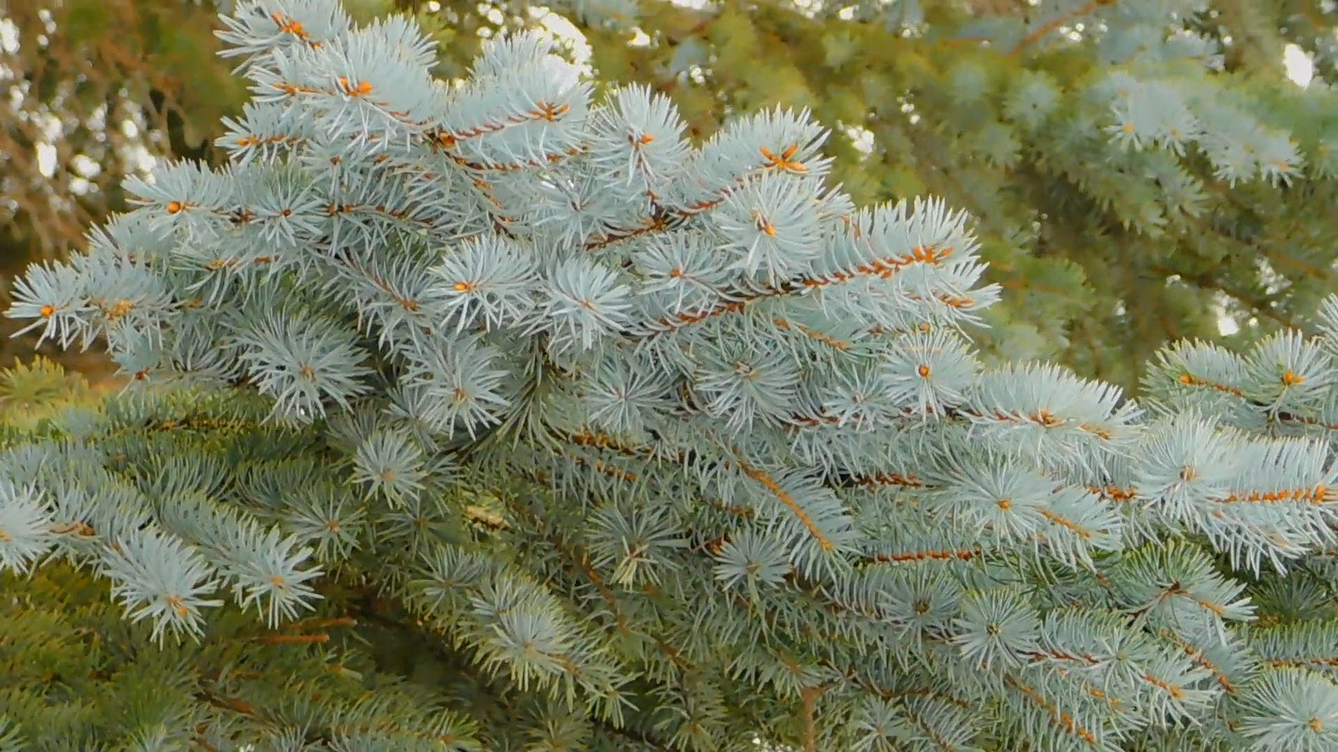 Beautiful Silver Spruce