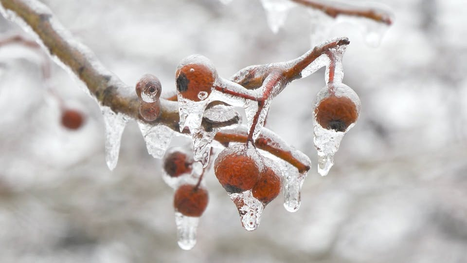 Snow Melting On Berries Of A Tree