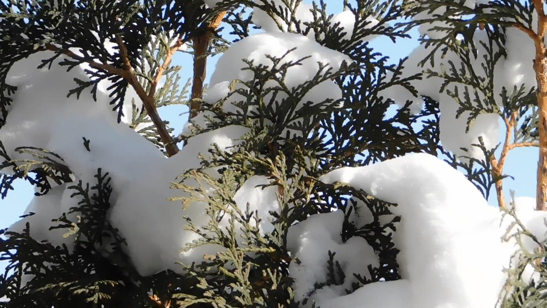 Dull Color Of Cedar At Winter