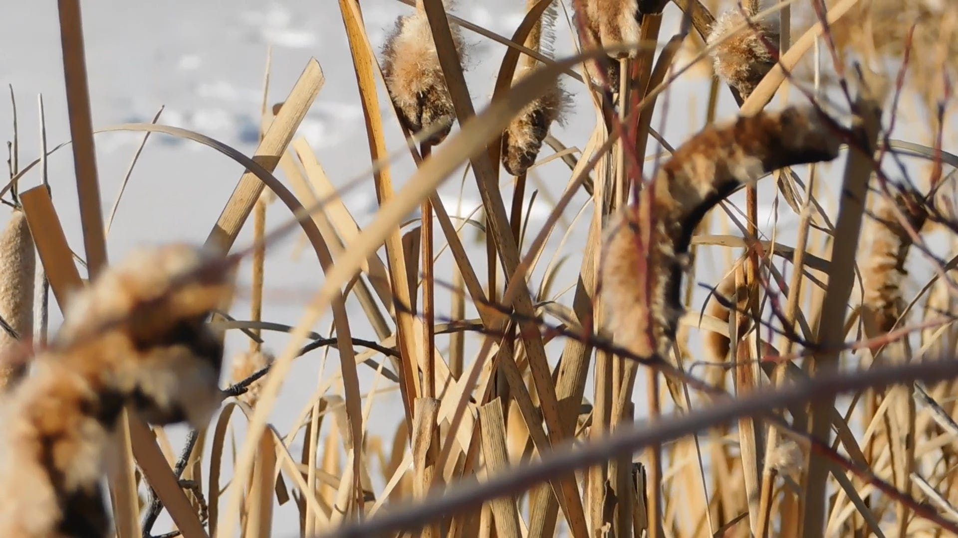 Dry Cattails At Winter