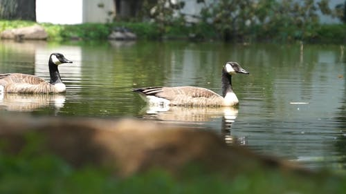 Geese Swimming In A Pond