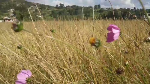 Wild Grass With Pink Flowers In A Field