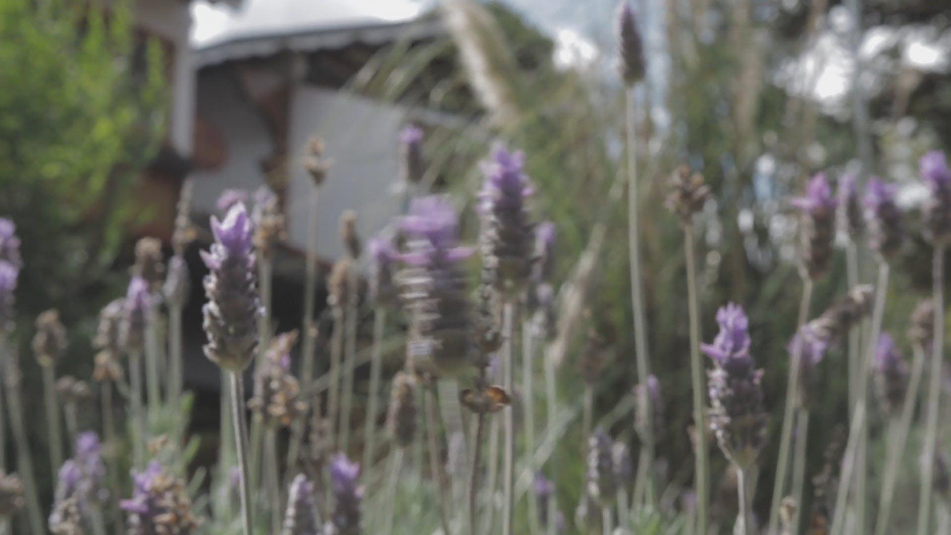 Lavender Flowers In The Garden