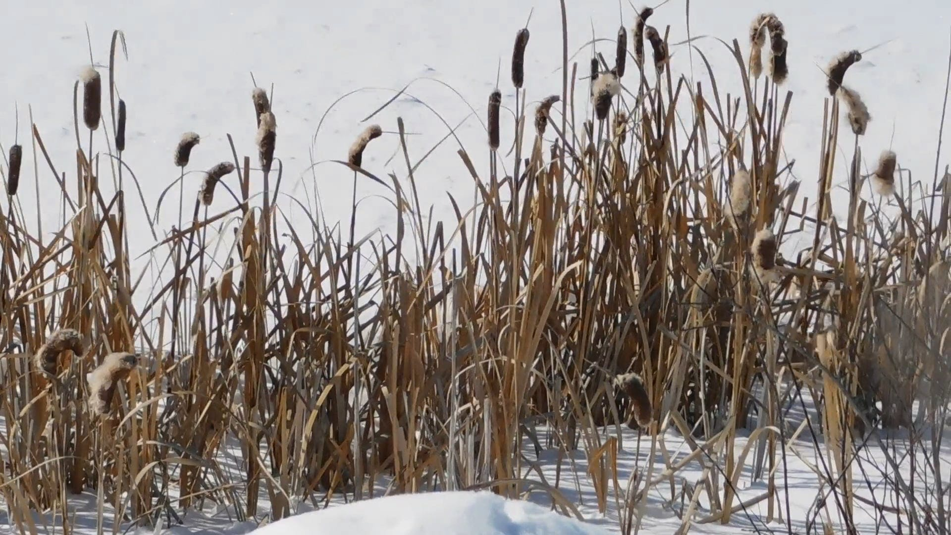 Dried Cattails At The Park