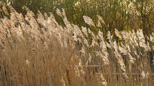 Tall Brown Grass On A Windy Day