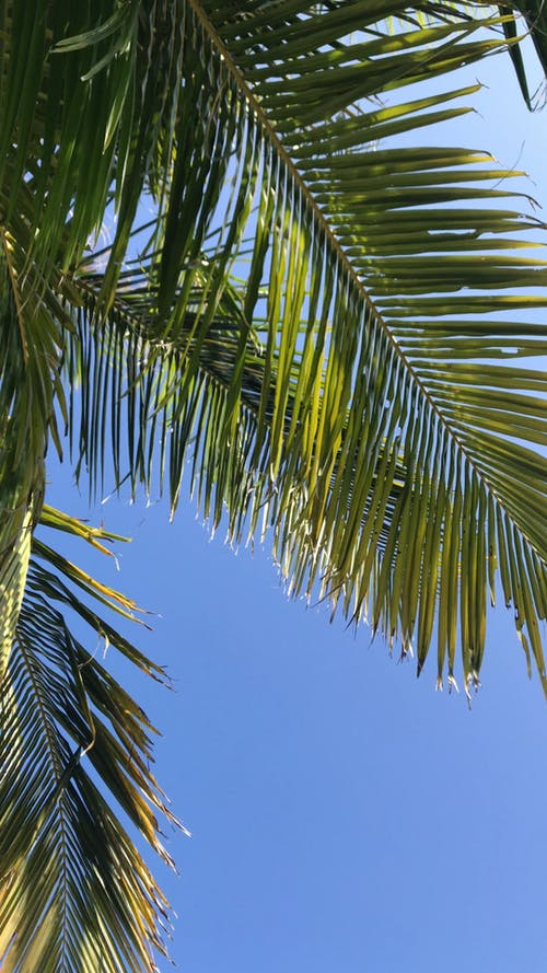 The Leaves Of A Coconut Tree