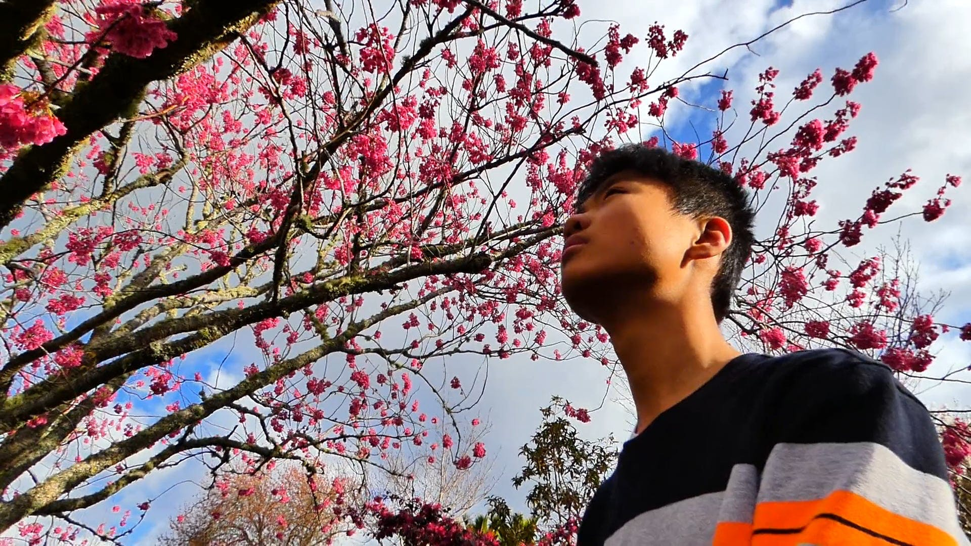 Man Looking Up At A Cherry Blossom Tree