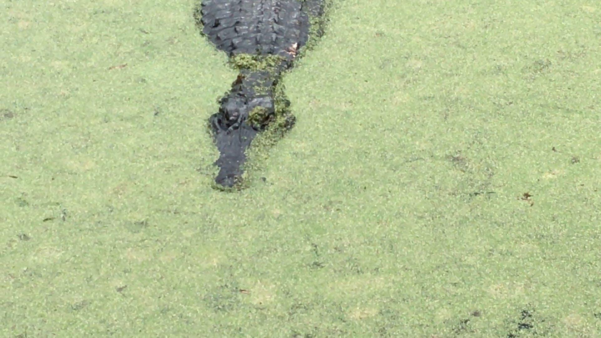 A Crocodile In Mossy Water