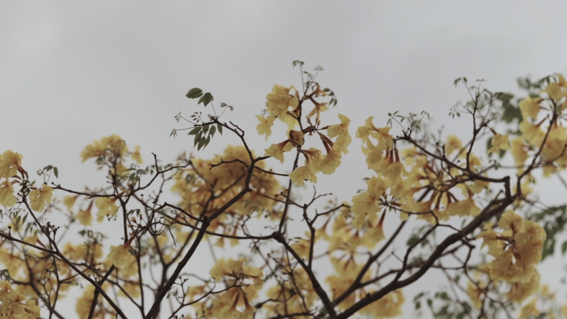 Tree With Yellow Flowers