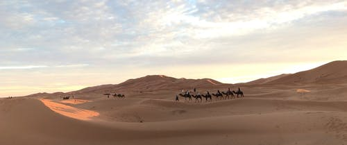 Camels Traveling In The Desert