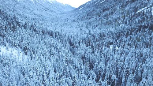 View Of Coniferous Trees In Winter
