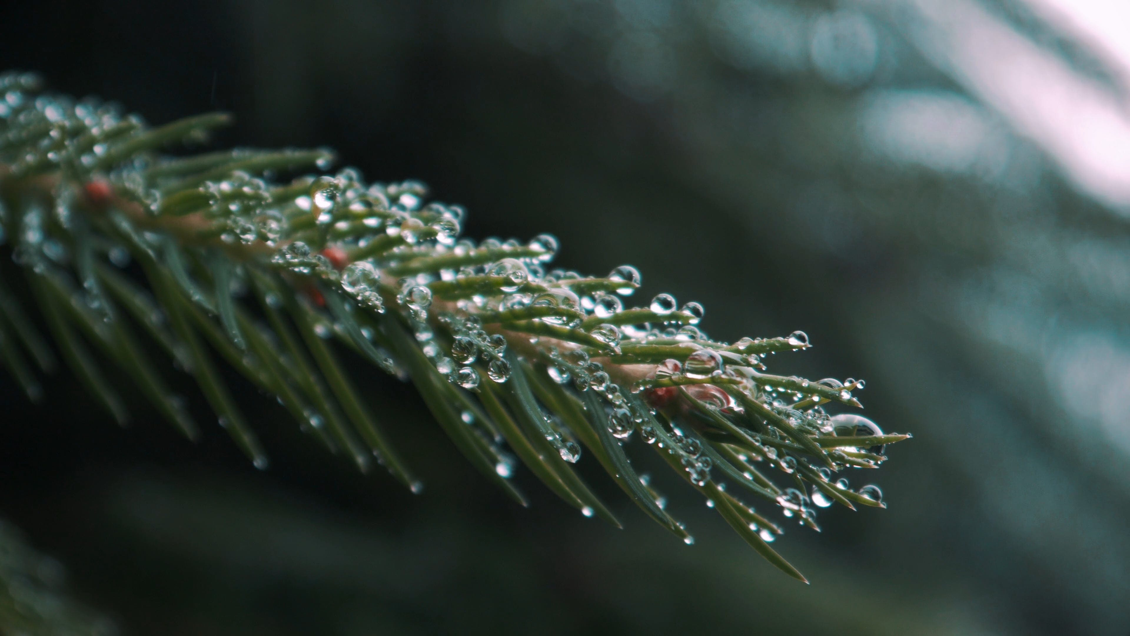 Close-Up View Of Pine Leaves With Water Droplets