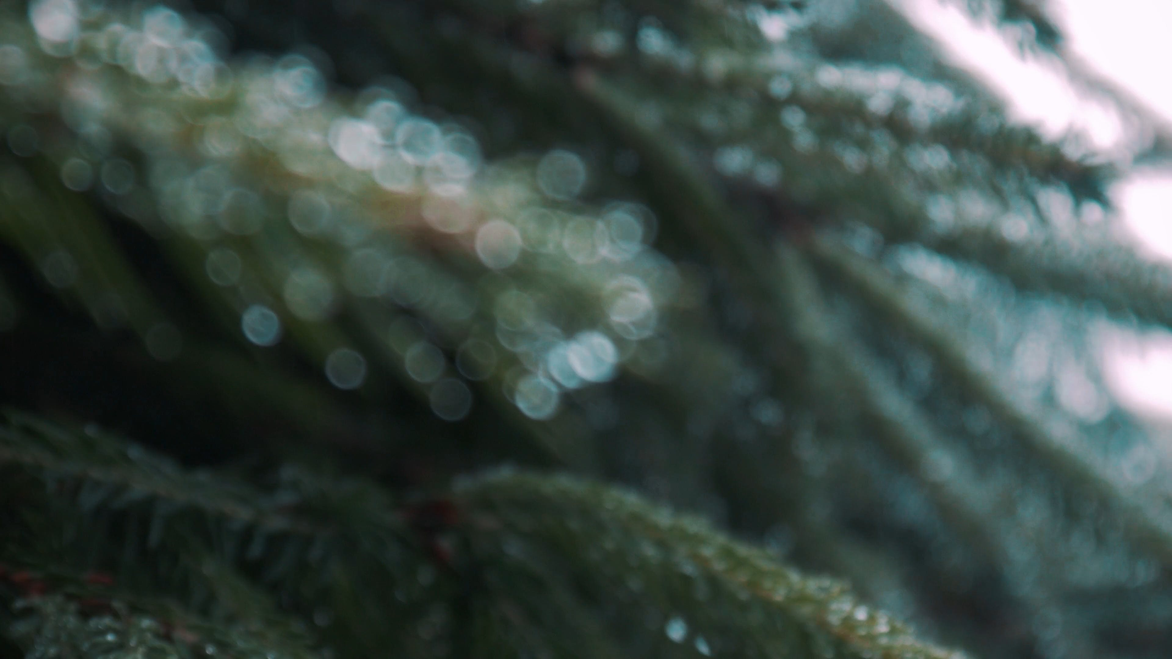 Close-Up View Of Pine Needles With Water Drops