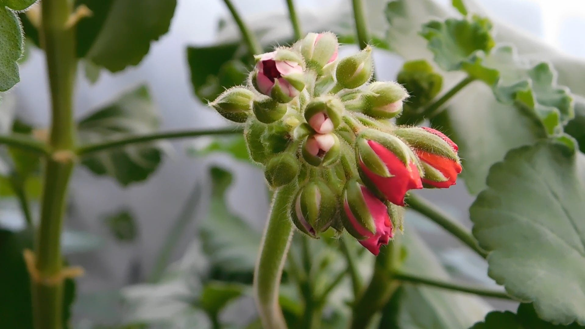 Close-Up View Of  Flower Buds