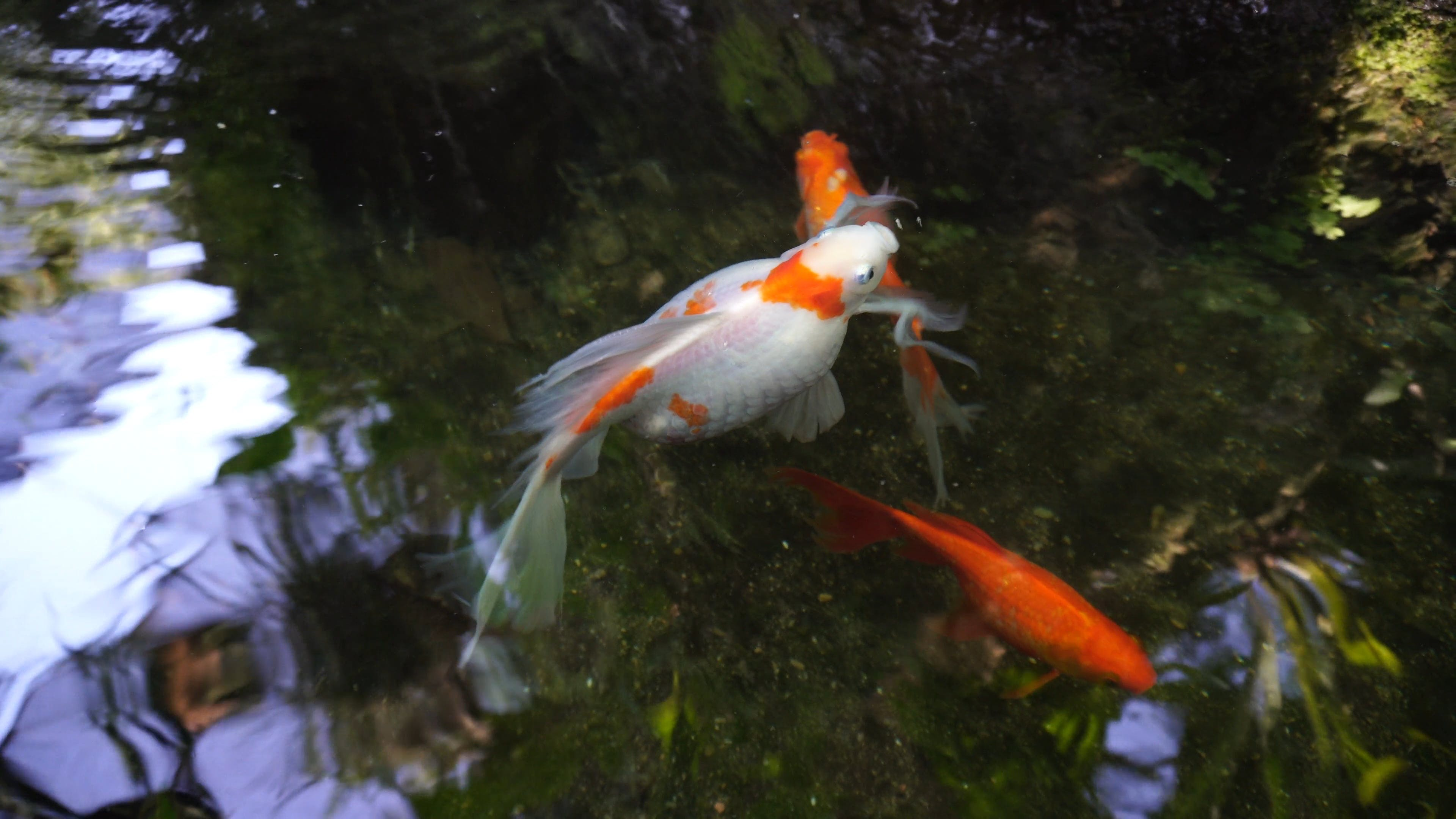 Variety Of Goldfish In A Pond