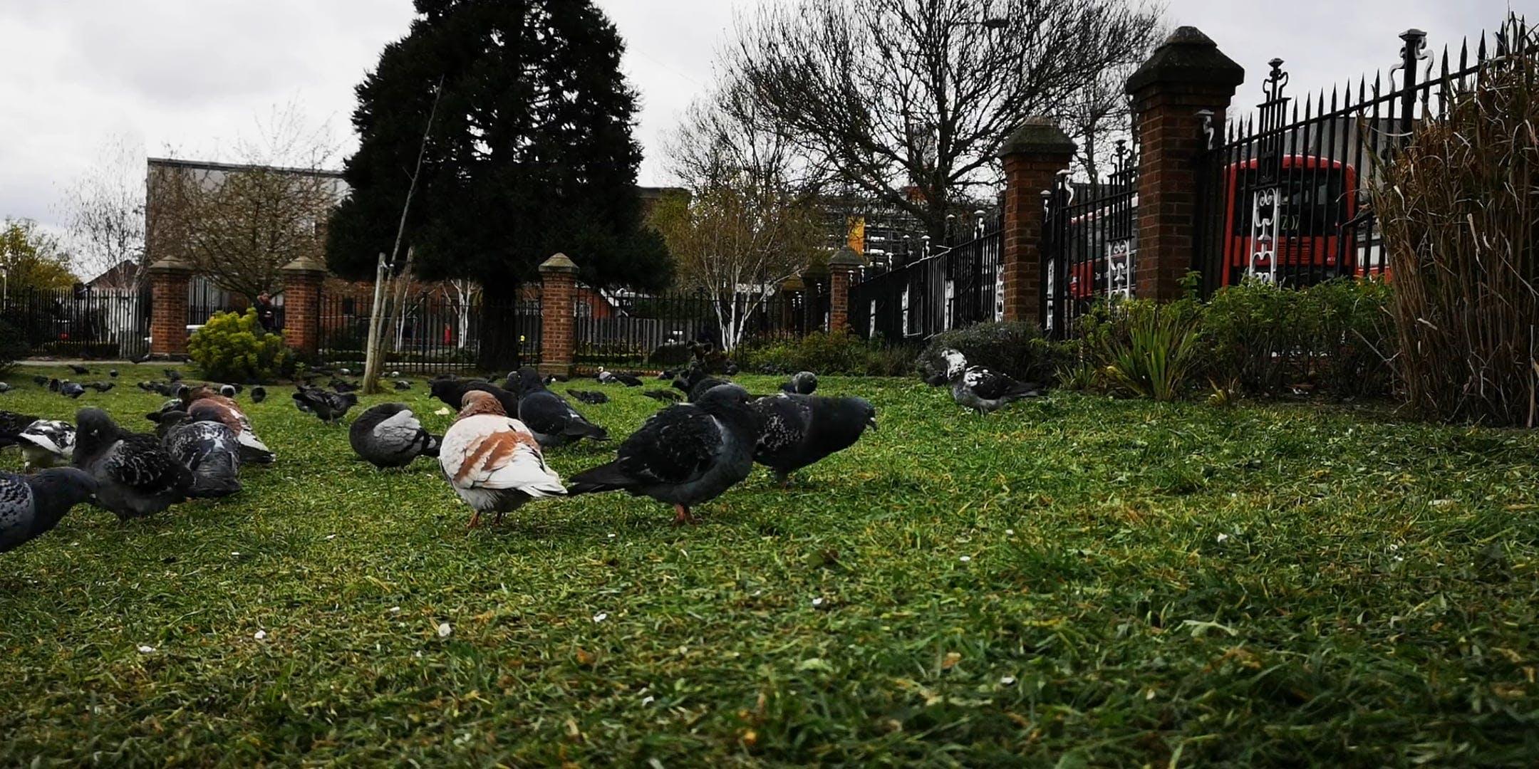 Pigeons Feeding On Grass