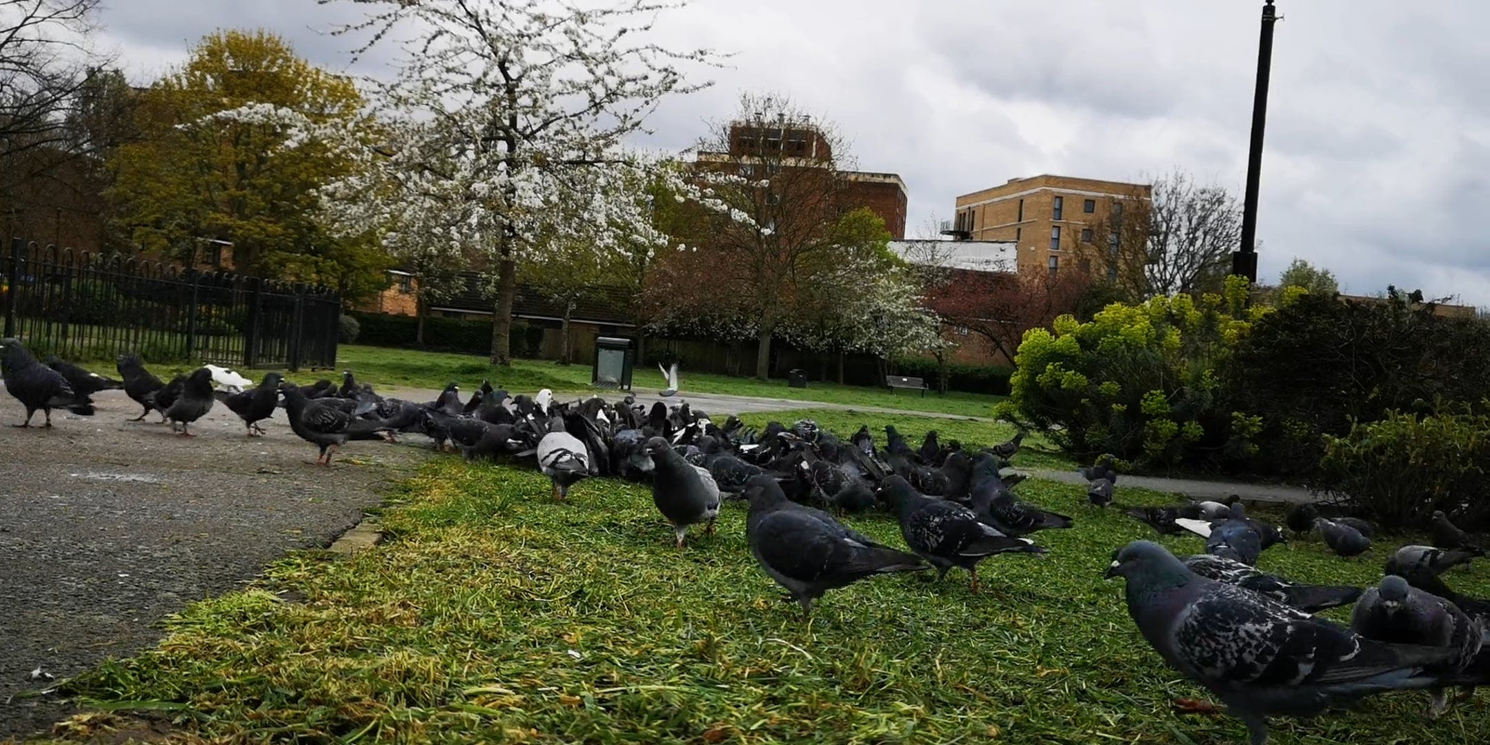 Flock Of Pigeons Feeding On Grass