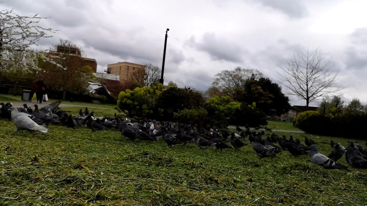 Flock Of Pigeons Feeding On Grass