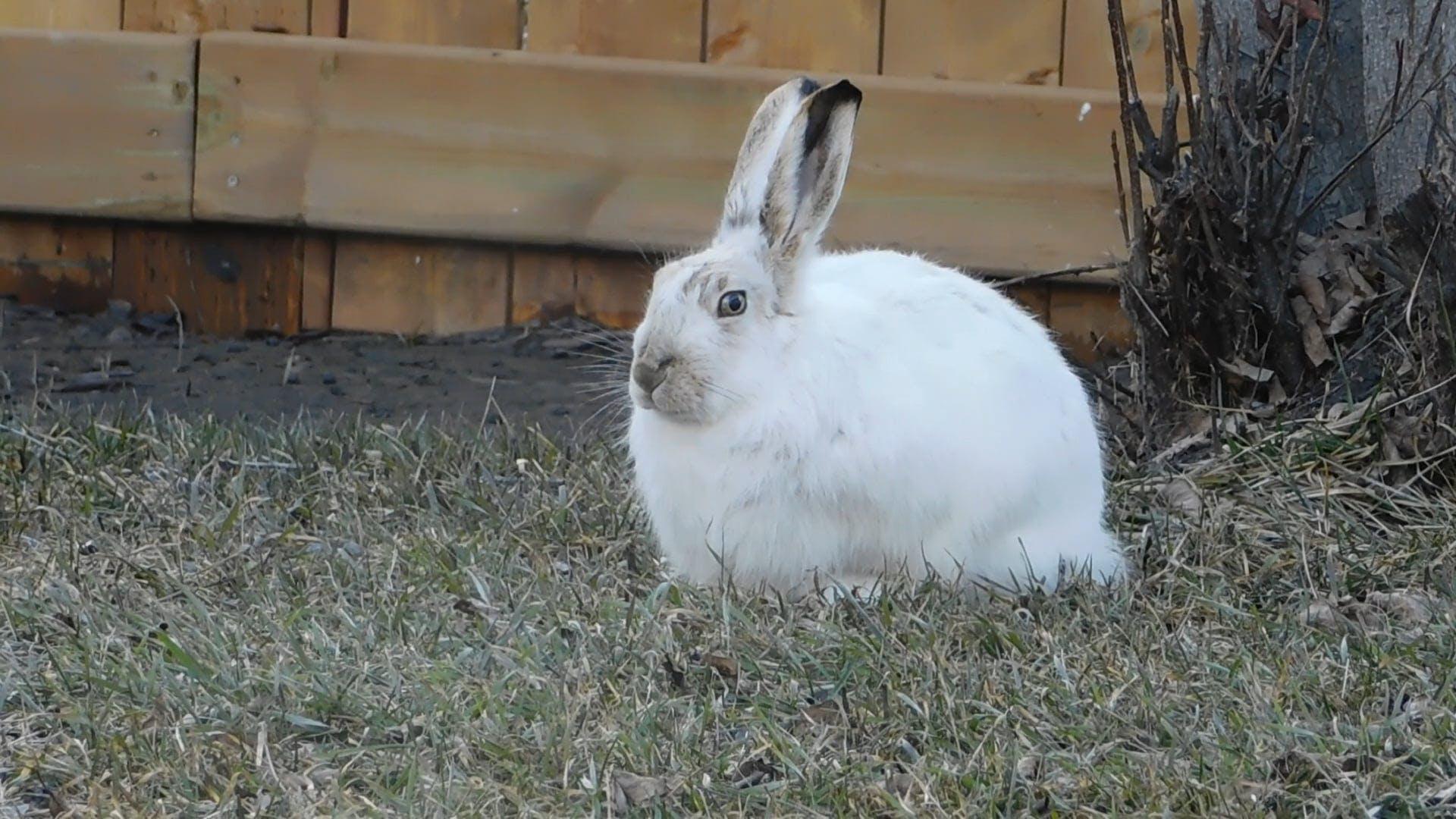 Arctic Hare Feeding On Grass