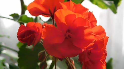 Orange Geranium Flowers In Full Bloom