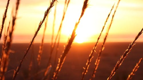 Wheat  With View Of Sunset