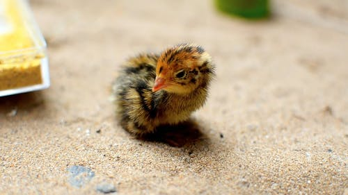 Close-Up Of A Young Chick