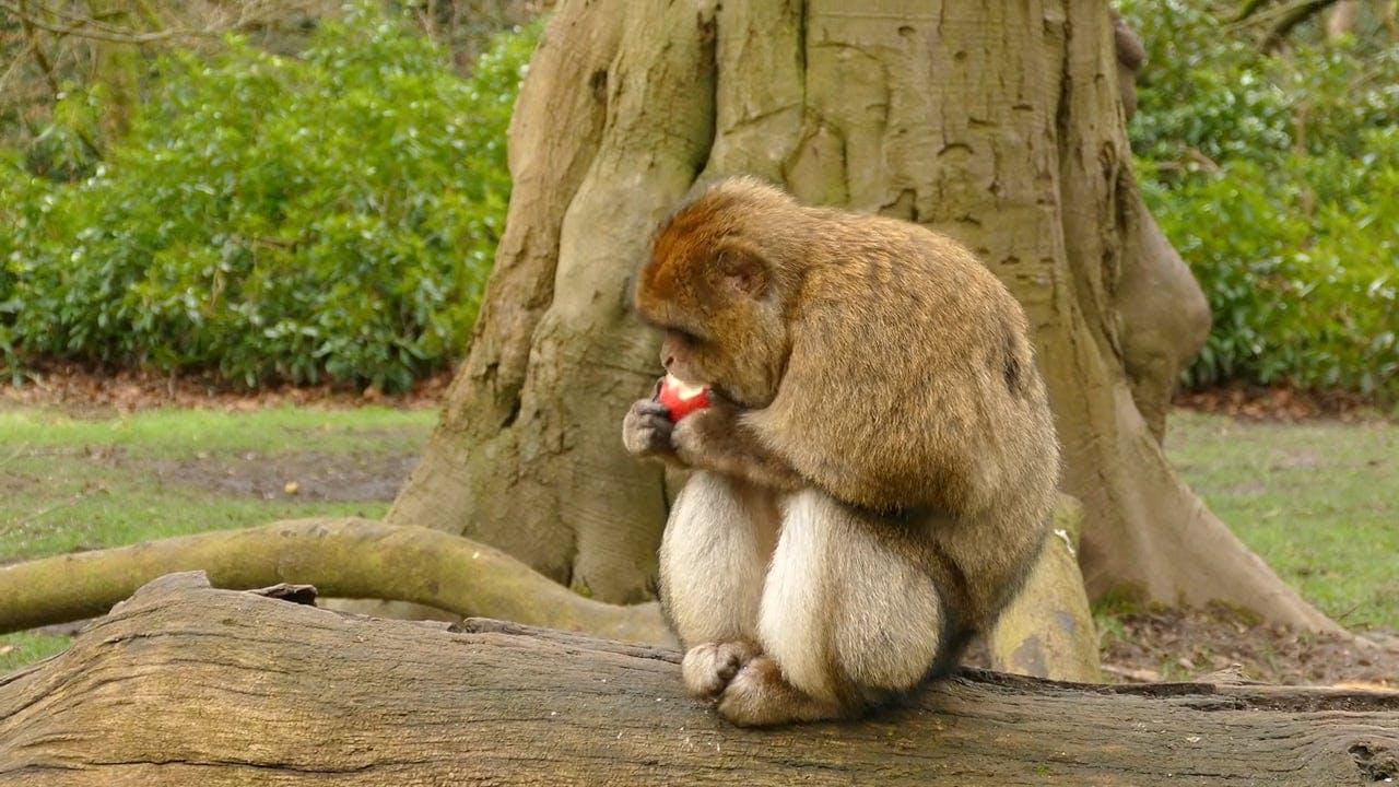 Monkey Eating Apple
