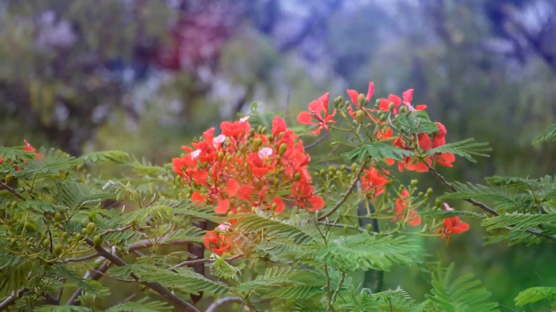 View Of Red Flowers On A Windy Day