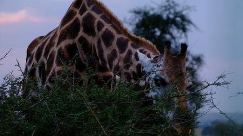 A Giraffe Feeding On Leaves