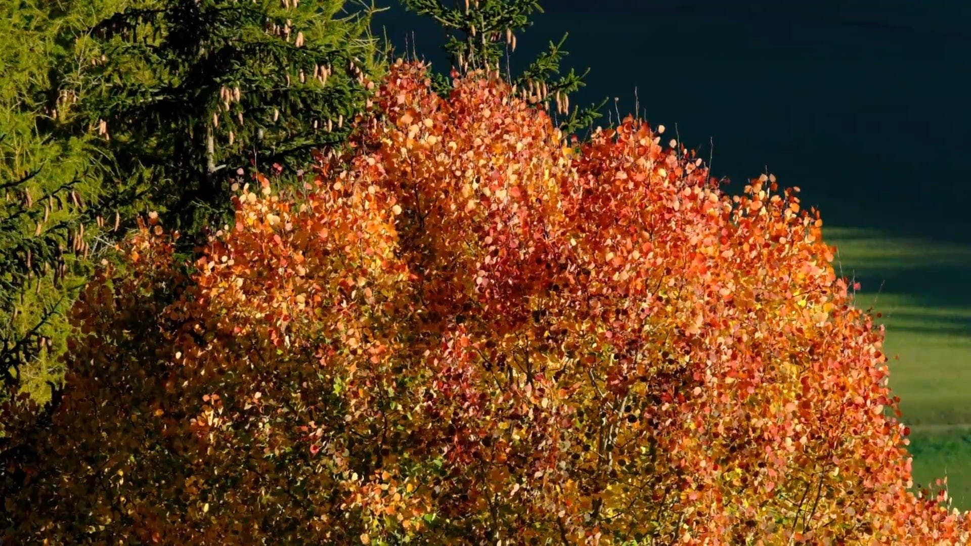 A Red Leafed Tree