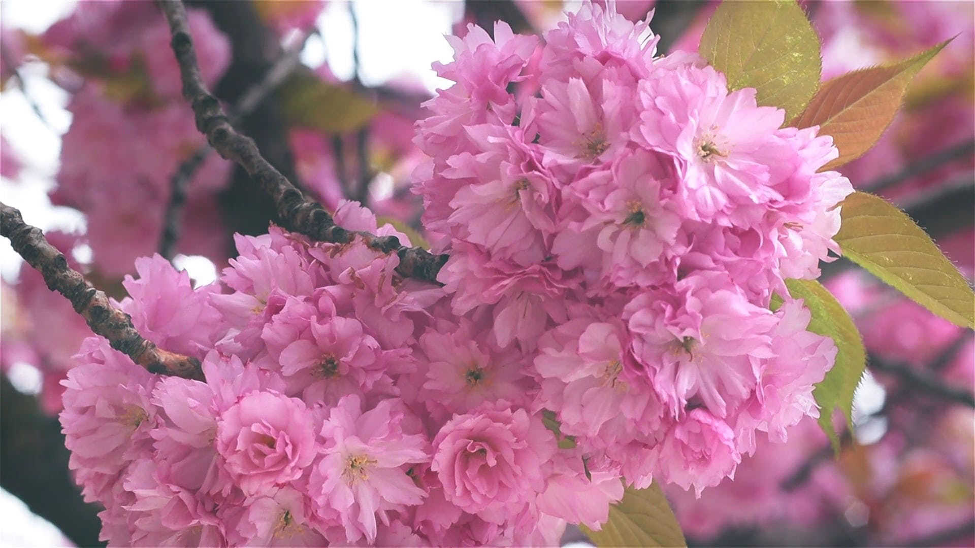 Bunch Of Pink Flowers On Tree