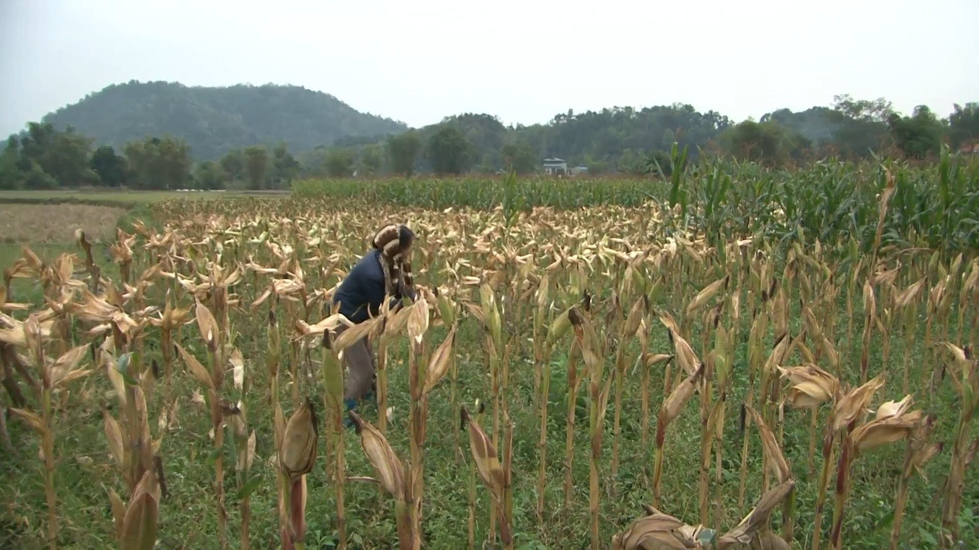 Woman Harvesting Corns