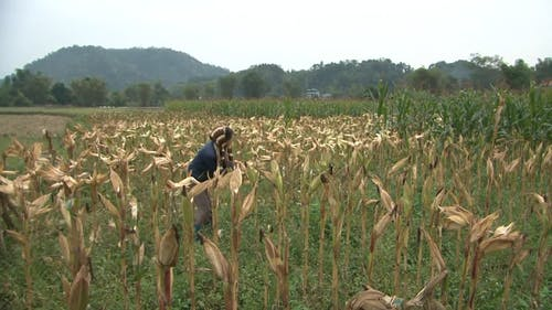 Woman Harvesting Corns