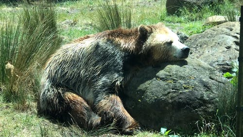 A Bear Resting On A Rock